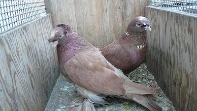 Uzbek Tumbler Pigeon