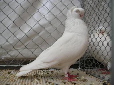 Koenigsberg Reinaugen Tumbler Pigeon