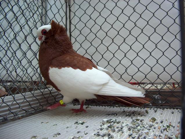 Komaromski prevrtač Komorner+Tumbler+Pigeon+17