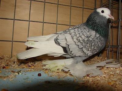 Saxon Monk Pigeon