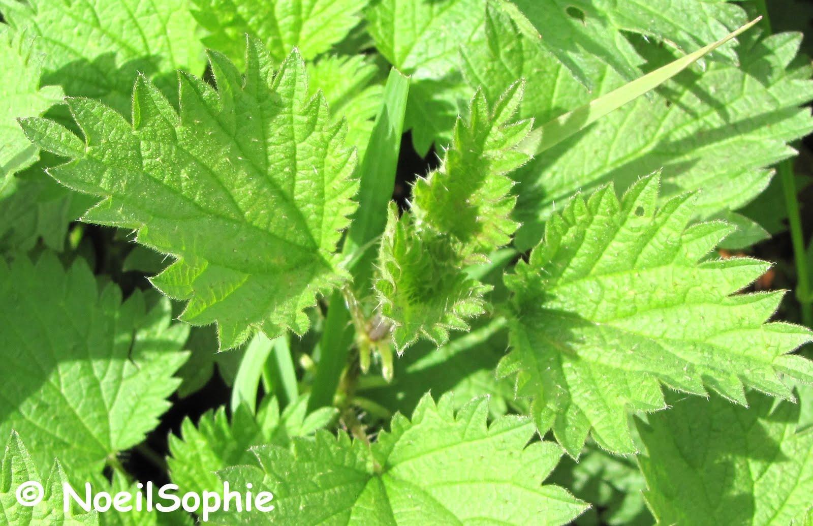 Le n 39 oeil de sophie le temps des orties for Plante ortie