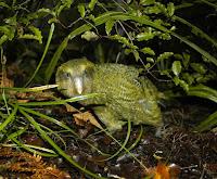 Kakapo.