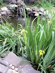 Iris in Pond