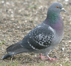 pigeon fans altitude species are from various professions,