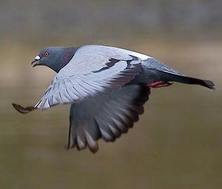 ... Pigeon: seberapa Jarak lepas merpati tinggi optimal