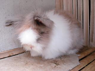 jenis kelinci anggora