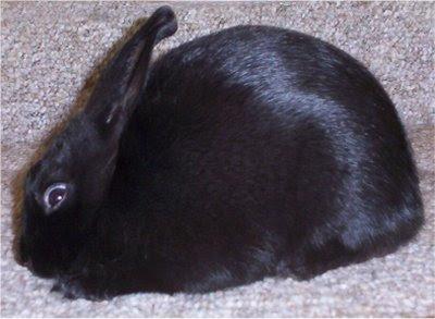 kelinci havana warna hitam