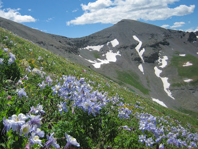 Columbines Near Molas Pass