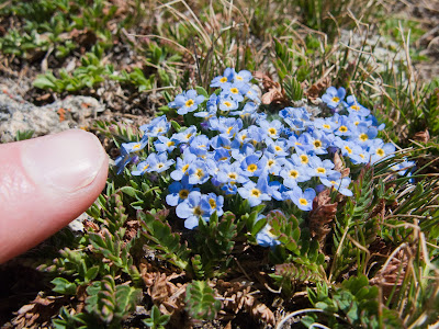Mount Columbia, Forget-me-not