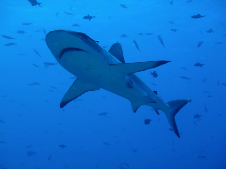 Patrolling Reef Shark
