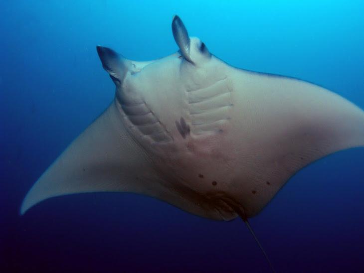 Pacific Manta Ray