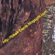 Tokek Pohon