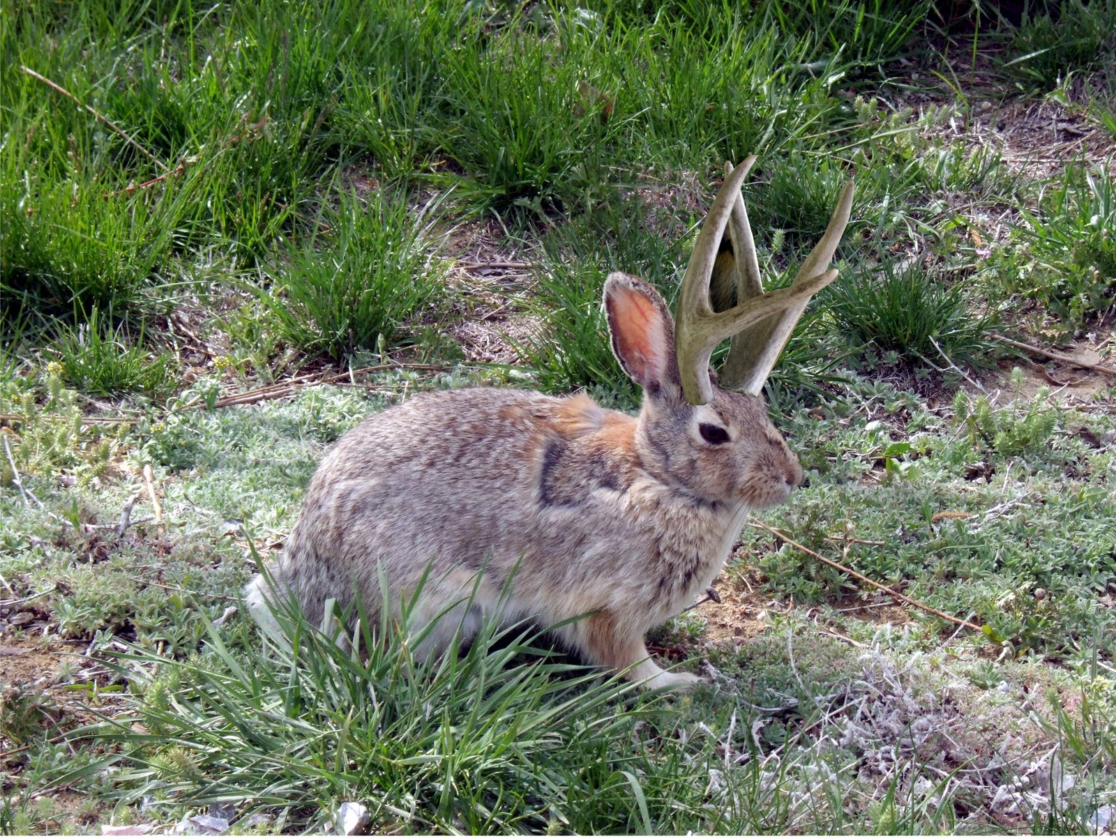 and a LIVE jackalope visited our campsite! (Not really you know how ...