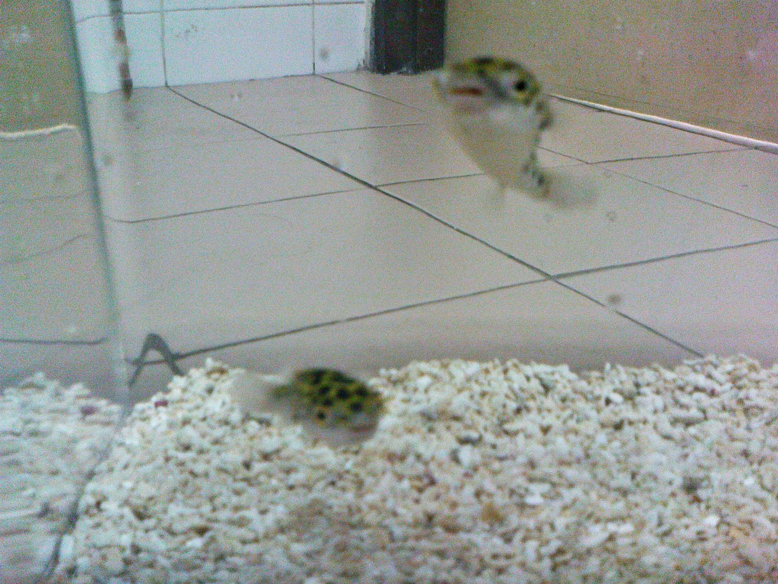 Tadah! They are the Puffer Fish!!!!! Cute or not?! XD
