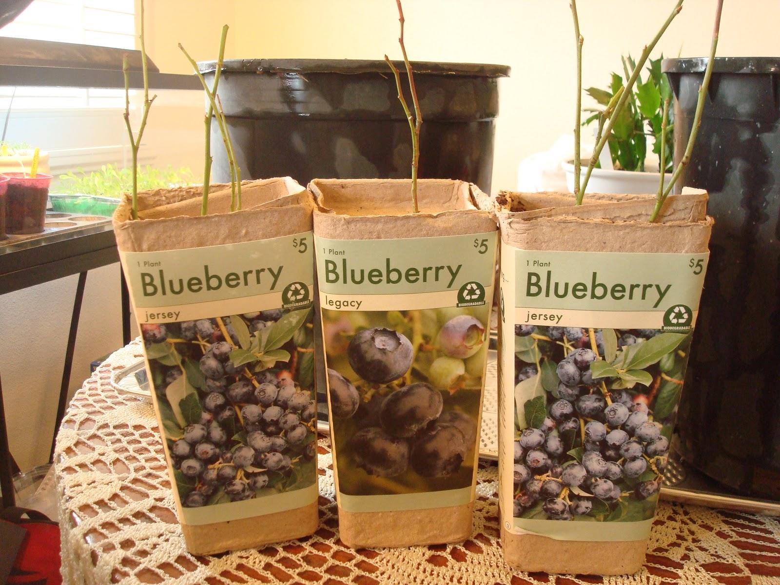 Northern Nevada Jr. Gardener: I\'m planting Blueberry bushes this ...