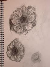 Anemone drawings