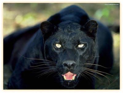 endangered black jaguar cowboy cartoon clip art