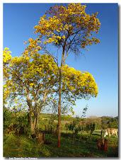 Planta símbolo do Brasil