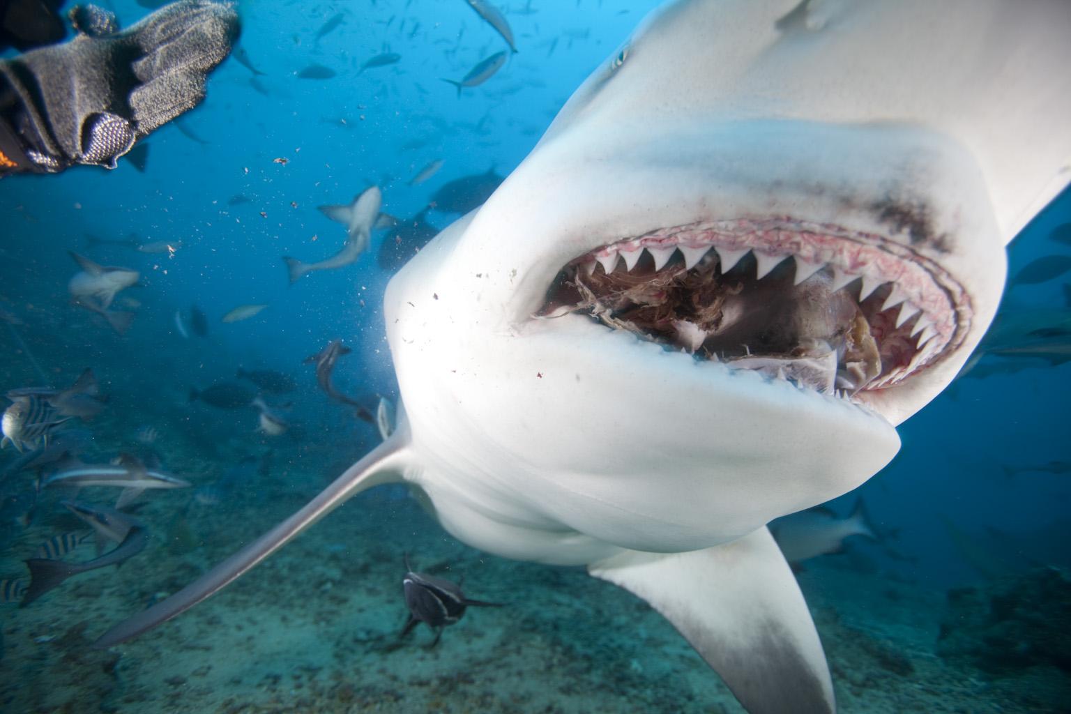 Sharks Swarming.