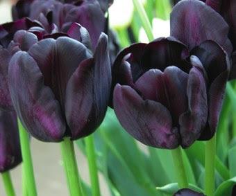 http://1.bp.blogspot.com/_rrJTapSVYg0/SbbvnjRSJkI/AAAAAAAAAQk/lVzXbtz6RrM/s400/tulipa_paul.jpg