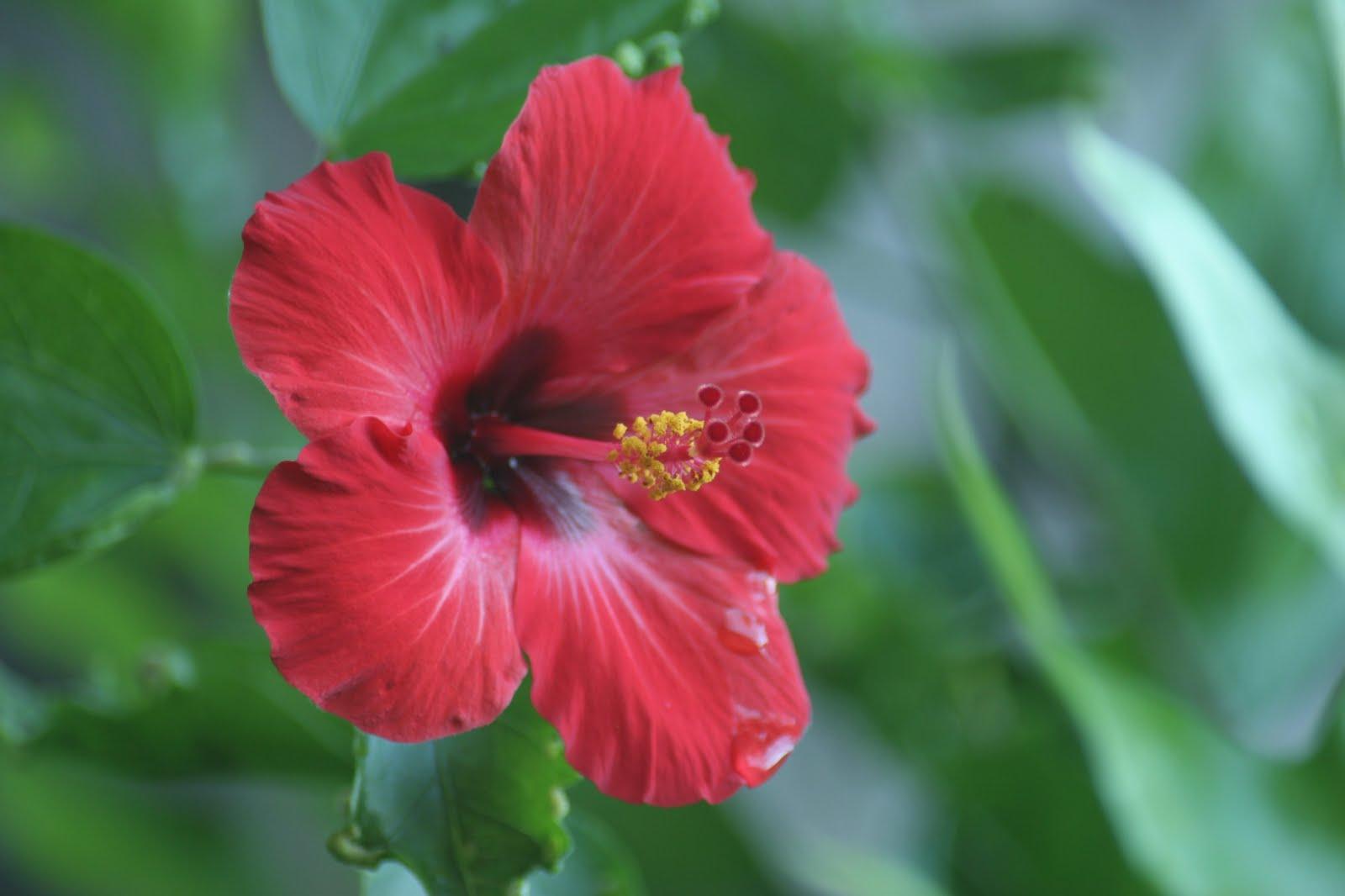 La flora y la fauna for Malvarrosa planta