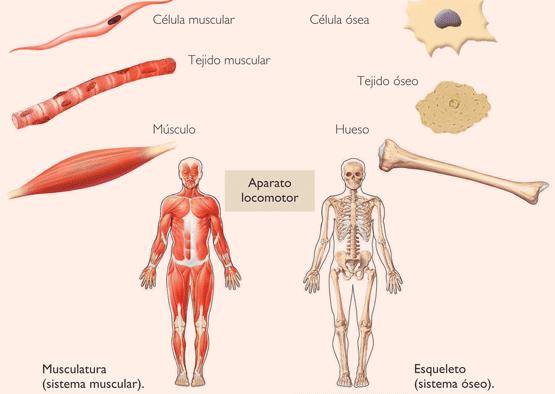 sistema oseo-muscular: tipos de celula oseo-muscular