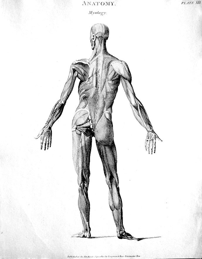 figure drawing: abraham rees - muscles of the human body, Muscles
