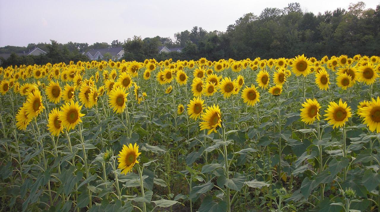 Liberty Homestead Sunflower Fields Forever