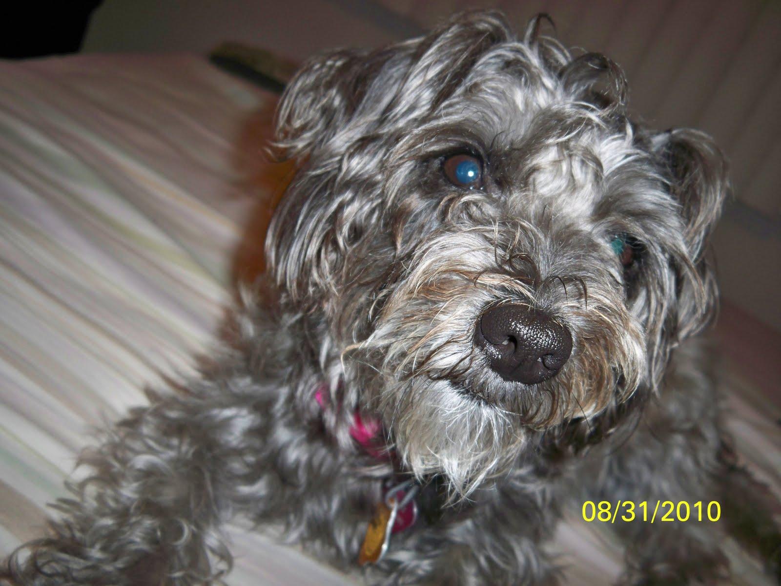 Displaying 20> Images For - Pitbull Greyhound Mix...