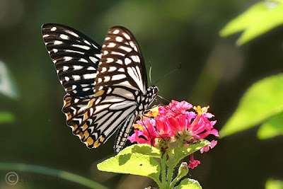 Butterflies of Singapore: Life History of the Common Mime