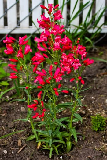 Friday night photos flowers in and out of the garden 2010 garden a new perennial i bought this year is this penstemon a native utah plant that thrives in the hot sun mightylinksfo