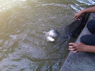 Mancing Yuk] Umpan Pancing Ikan Mas