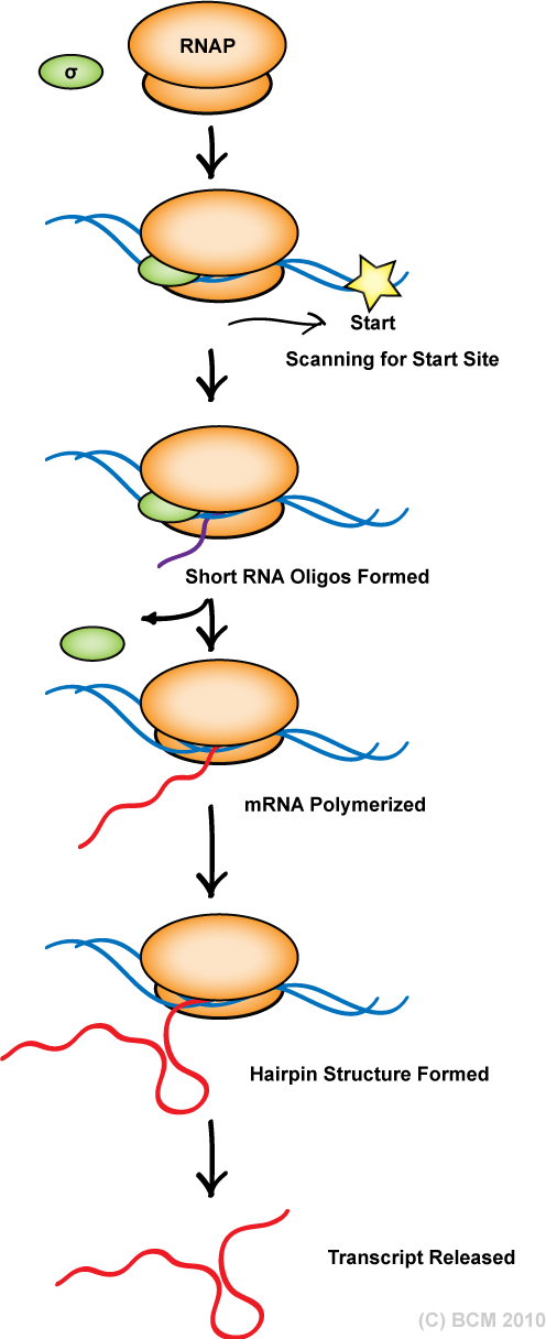 bacterial transcription initiation Eukaryotic & prokaryotic transcription rna polymerases rna polymerases a e colirna polymerase 1 core enzyme = ββ'(α)2 has catalytic activity but cannot  rna chain initiation (iii) chain elongation (iv) chain termination why would rna polymerase in eukaryotes need to be different.