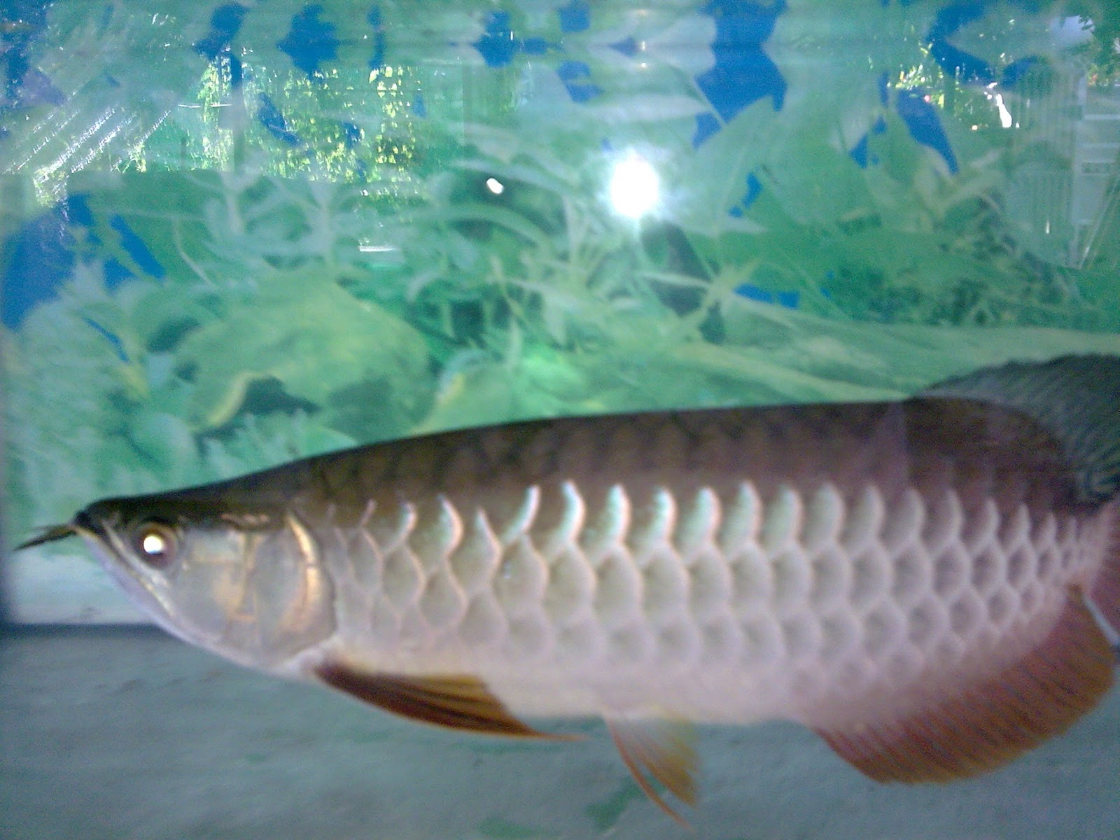 High Back Arowana for SALE.
