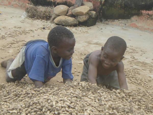 Harvesting Groundnuts (Peanuts)