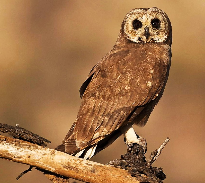 Fauna impressionante de Madagascar. Marsh%2Bowl%2BAsio%2Bcapensis