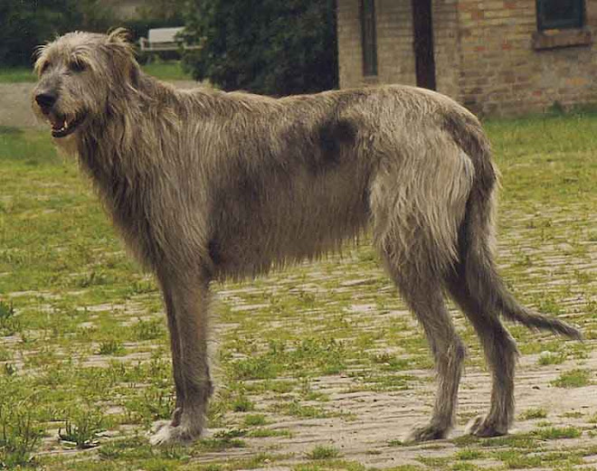 [Image: 760px-Irish_Wolfhound_Sam%5B1%5D.jpg]