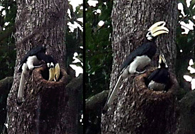 Male hornbill trying to entice his female to enter the nesting cavity. Photo by: Angie Ng http://besgroup.blogspot.sg