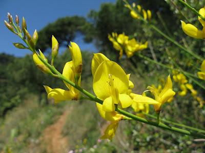 Nombres de Flores Botanical Online - Fotos Y Nombres De Flores Amarillas