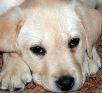 Amazing Dog Facts: The Great Dog Breed - Labrador Retriever