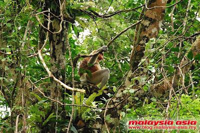 Proboscis Monkey Male