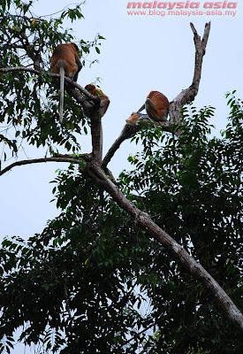 Proboscis Monkeys at Kinabatangan