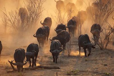 manada+bufalos ¿Practican la democracia los búfalos?
