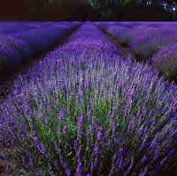 Photo of Norfolk Lavender Fields