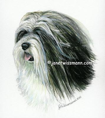 apso lhasa dog. Lhasa Apso Head Study