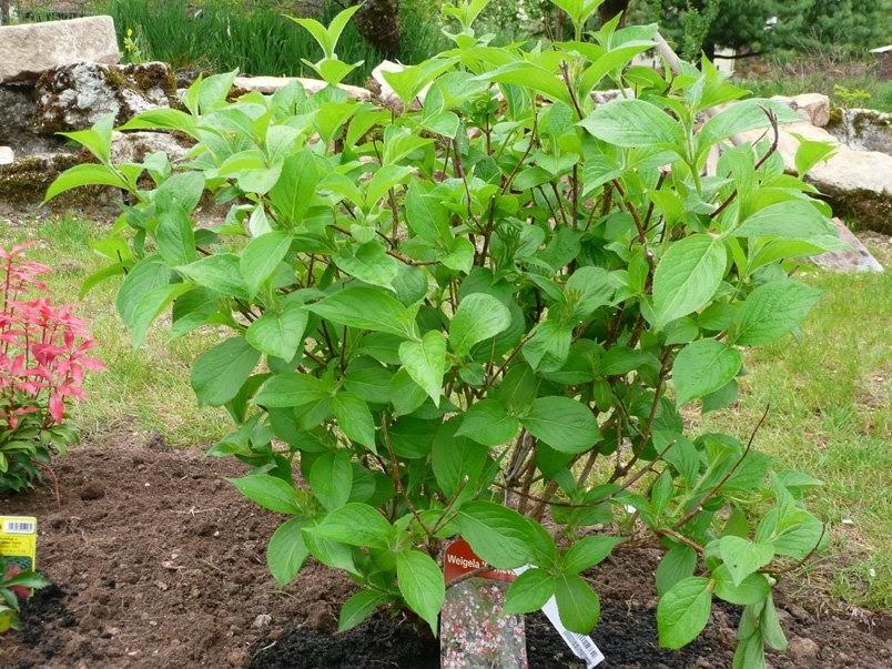 Notre jardin secret composition de mon nouveau massif etape 1 for Comarbuste a feuille rouge