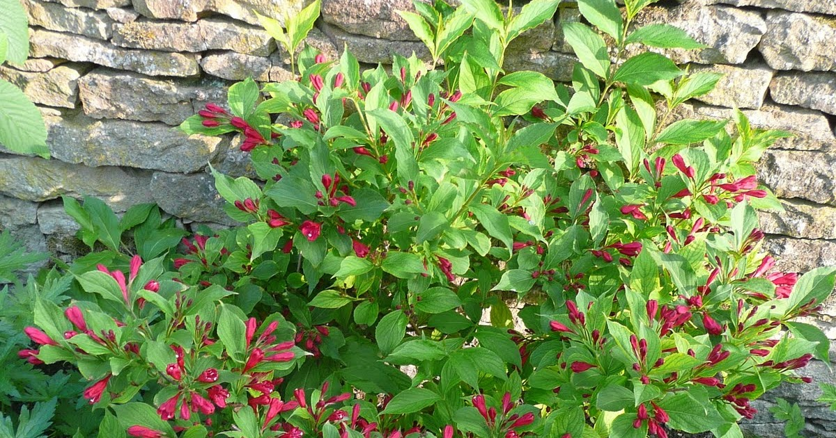 Notre jardin secret weigelia red prince for Axelle red jardin secret