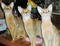 Ras_kucing_Abyssinian