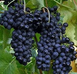 gambar_buah_anggur_bali