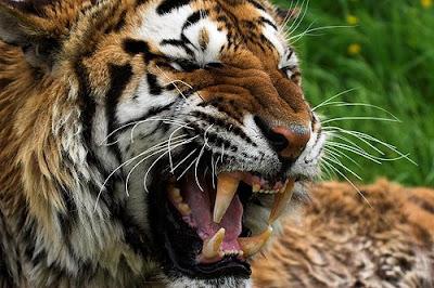gambar_harimau_2